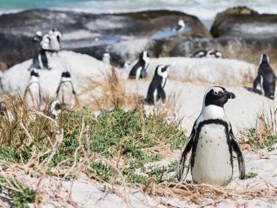 0-post-sudafrica-pinguinos-africanos