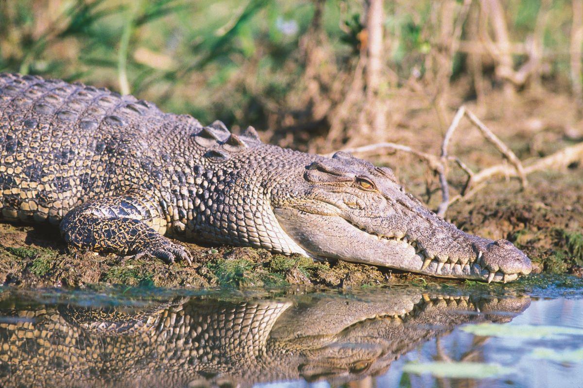 Viajar a Australia-cocodrilos