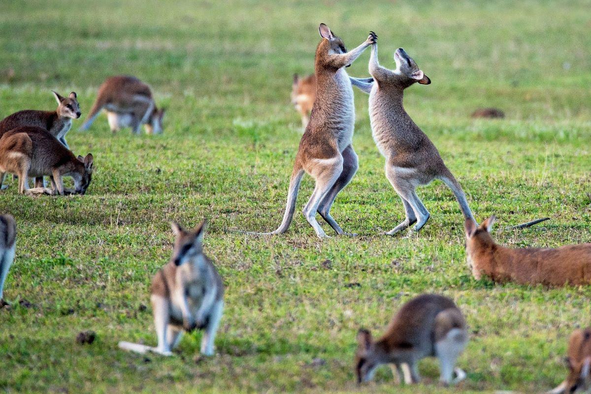 Viajar a Australia-kangaroos
