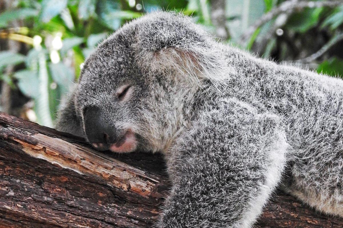 Viajar a Australia-koala
