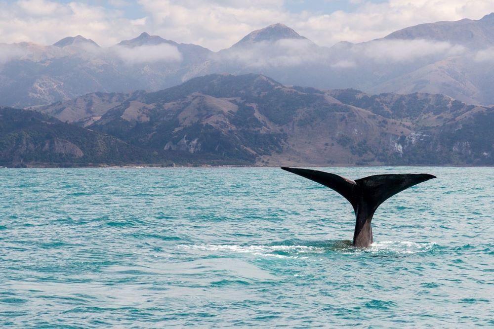 Viajar a Nueva Zelanda-avistamiento-ballenas