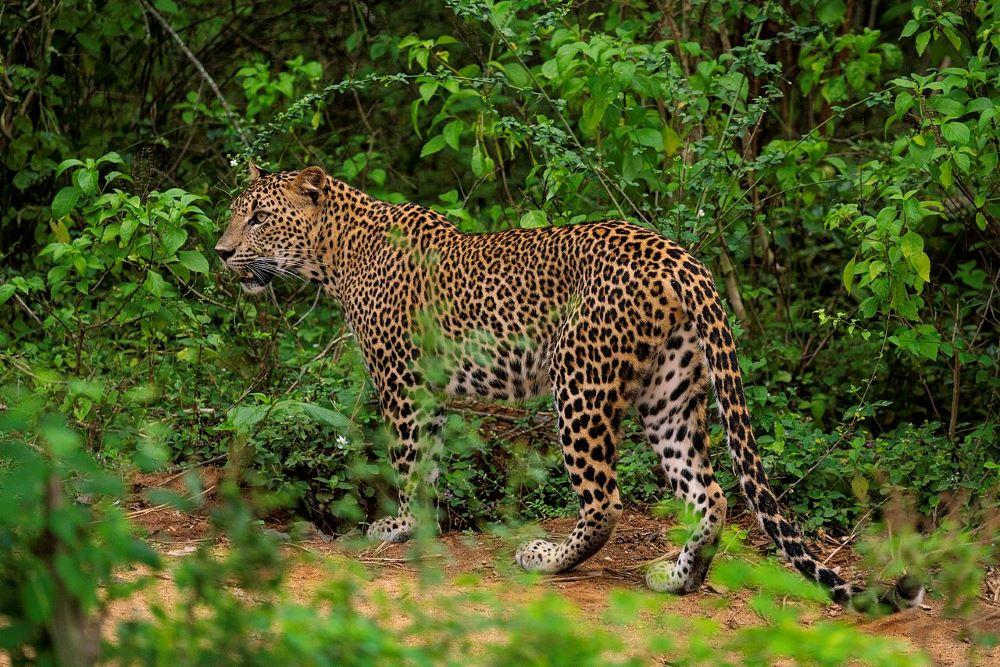 Viajar por Sri Lanka-leopardo
