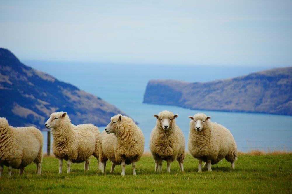 Viajar a Nueva Zelanda-ovejas