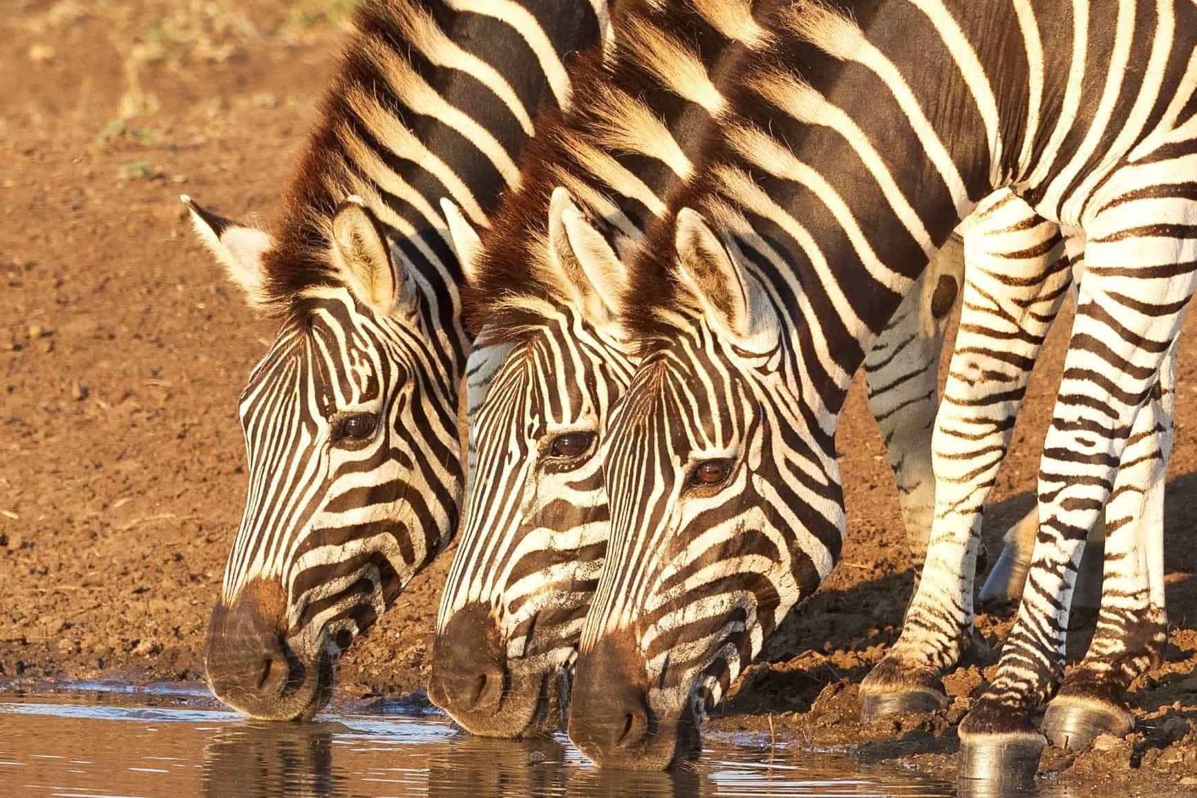 El corazón de África. Tanzania. NUBA everywhere. Cebras
