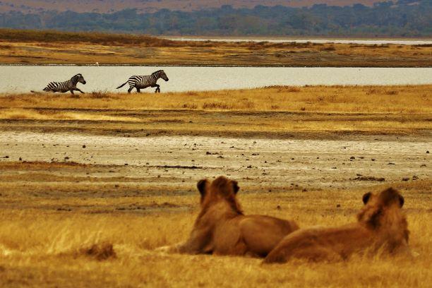 El corazón de África. Tanzania. NUBA everywhere. Cebras y leonas