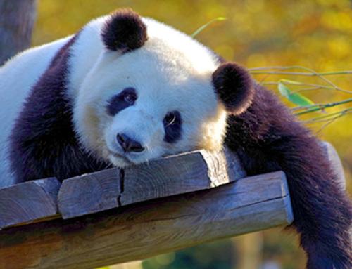 China. El país de los dragones y los osos panda