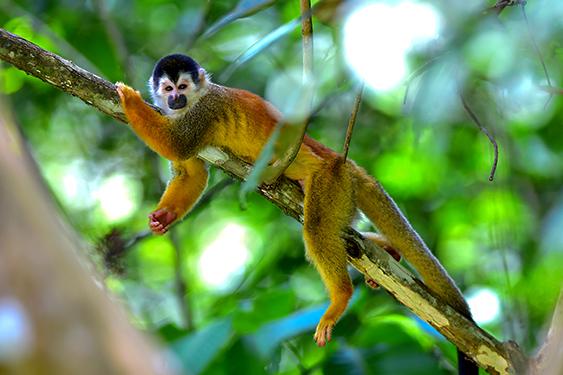 Costa Rica. En busca de las mariposas. NUBA everywhere. Mono titi