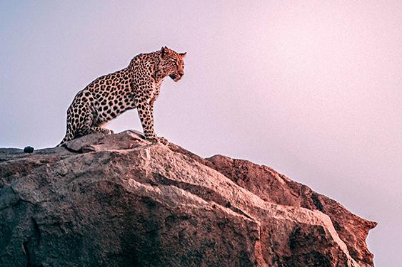 Kenia. Visita a la tribu Masai. NUBA everywhere. Leopardo Kenia