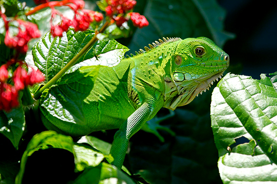 Costa Rica. En busca de las mariposas. NUBA everywhere. Iguana