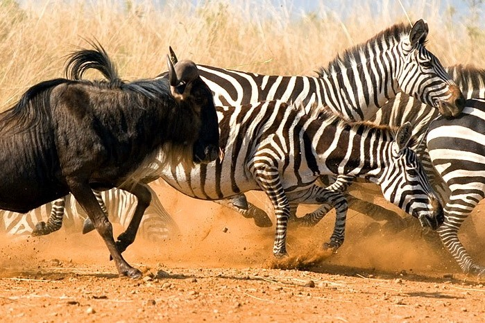 Viaje Kenia y Zanzibar-cebras