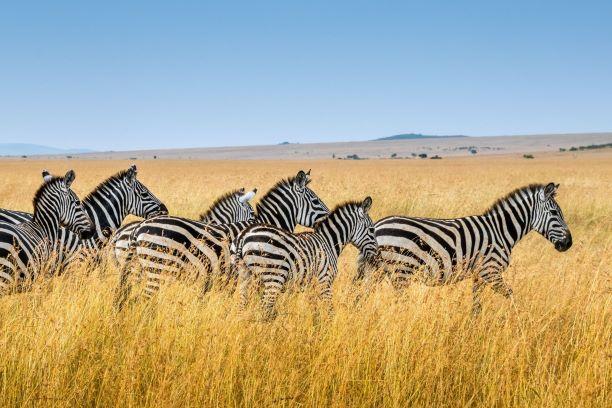 Viaje Kenia y Zanzibar-cebra_masai_mara