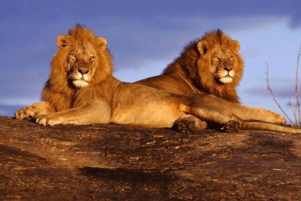 Viaje Kenia y Zanzibar-leon_africano