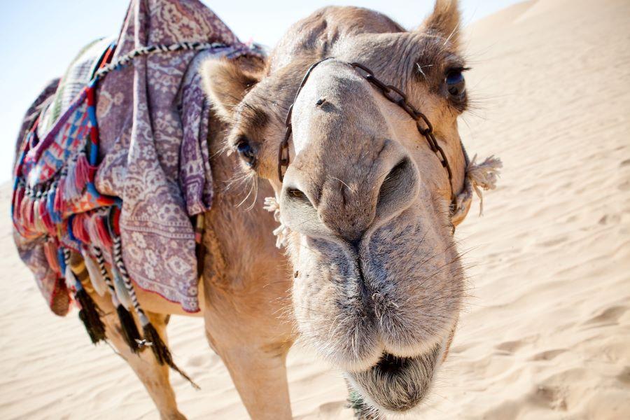 Viaje Marruecos Reyes Magos-dromedario