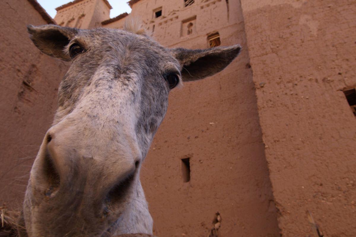 Marruecos Reyes Magos - burro