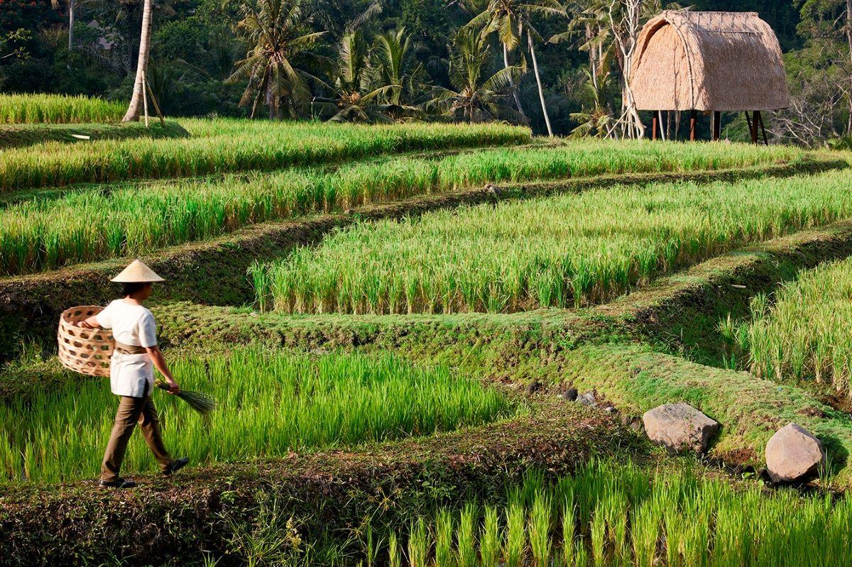 Viajar a Bali-ubud_arrozales