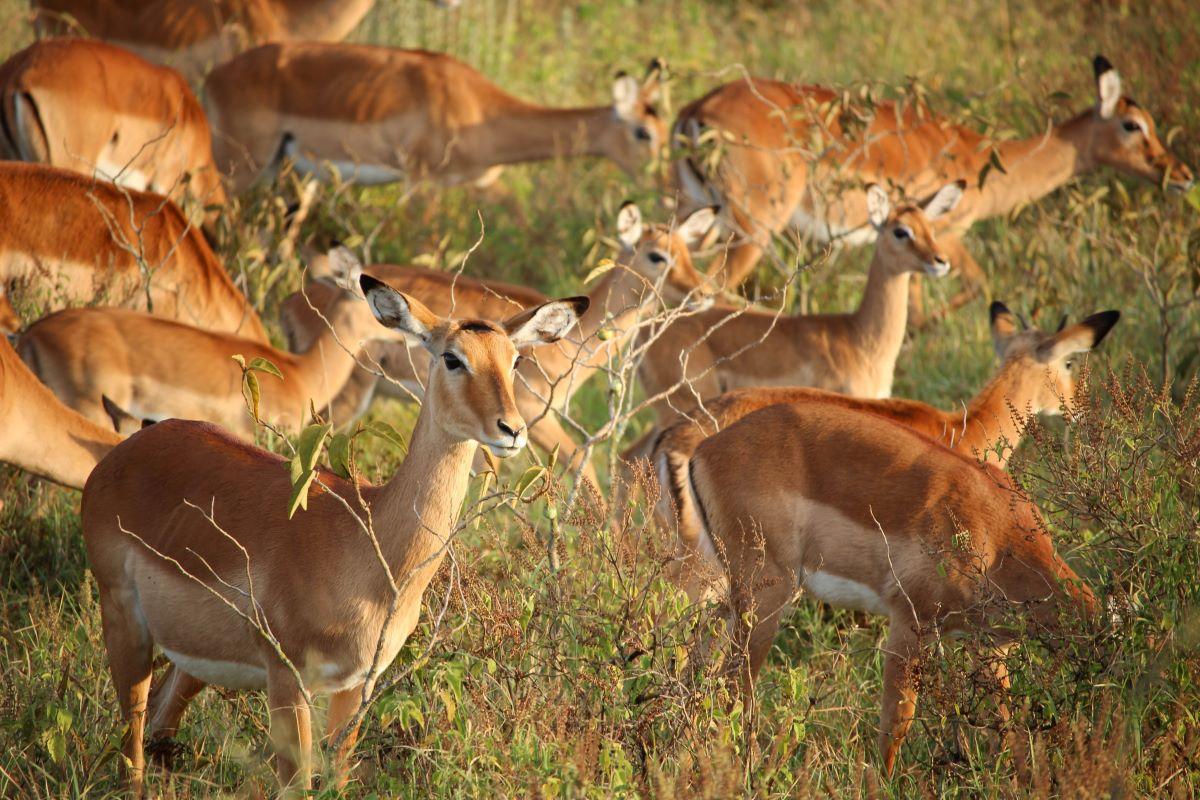 Viajar a Kenya-lago_nakuru_impalas