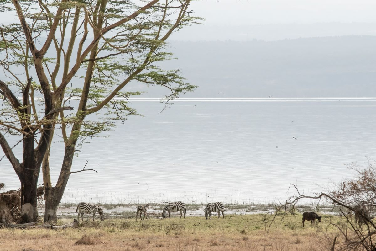 Viajar a Kenya-lago_nakuru_cebras