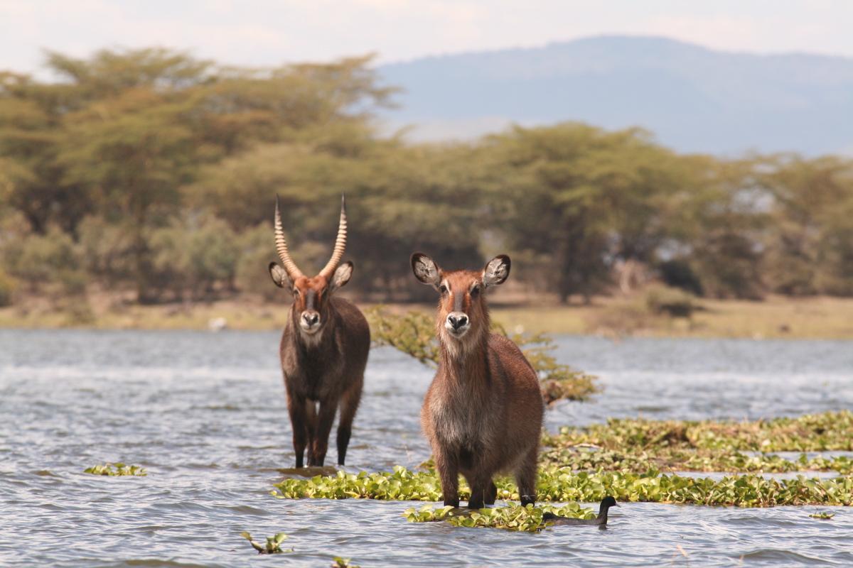 Viajar a Kenya-waterbucks_in_lake_naivasha