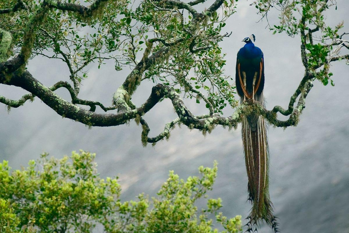 Viajar a Sri Lanka-parque-nacional-de-yala-pavo-real