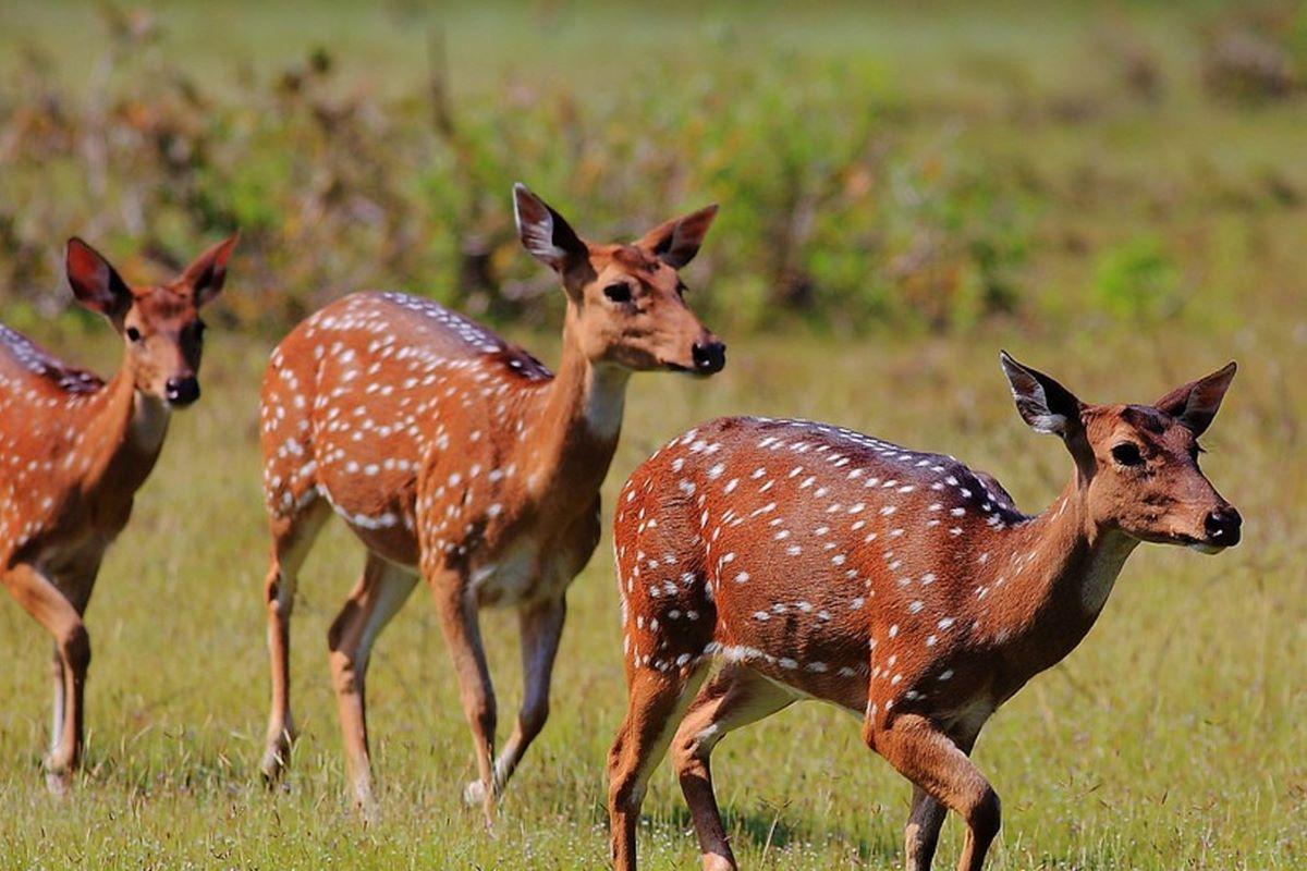 Viajar a Sri Lanka-parque-nacional-de-yala-ciervos-manchados