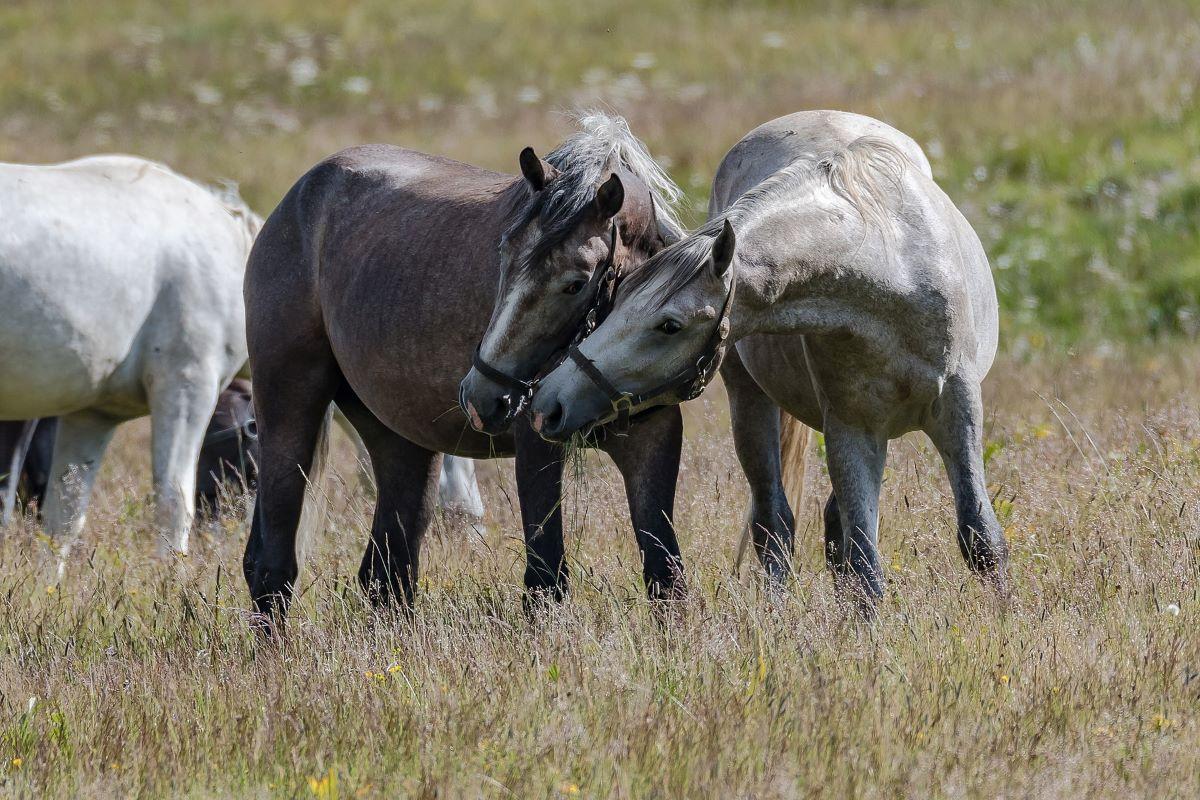 Viajar en familia-Transilvania-caballos-lipitan