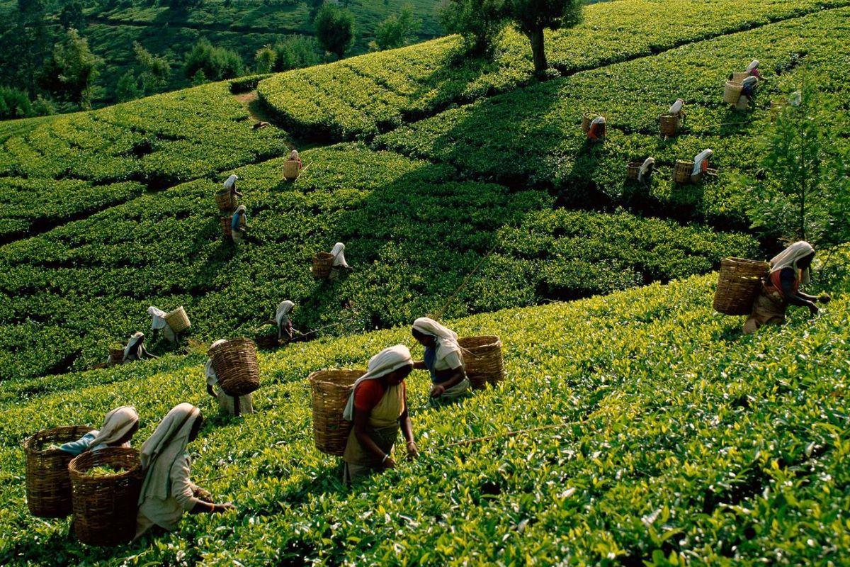 Viajar a Sri Lanka-nuwara-eliya-te